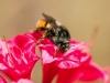 bee-on-coral-azalea-1