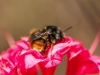 bee-on-coral-azalea-2