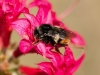 bee-on-coral-azalea-3