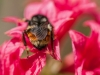 bee-on-coral-azalea-4