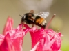 bee-on-coral-azalea-5