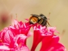bee-on-coral-azalea-8