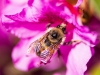 bee-on-purple-azalea-2