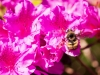bee-on-purple-azalea-3