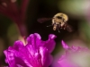 bee-in-flight-on-purple-azalea-1