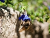 bee-blue-flower-1