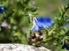 bee-blue-flower-2