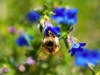 bee-blue-flower-3