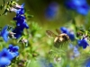 bee-blue-flower-4