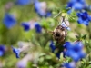 bee-blue-flower-5