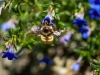 bee-blue-flower-6