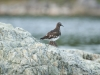 Black Turnstone 5