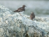 Black Turnstone 3